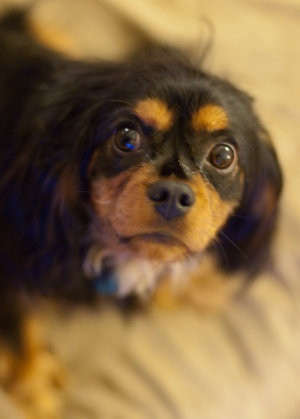 Lucky Ehrlich, a beautiful black and tan Cavalier King Charles Spaniel